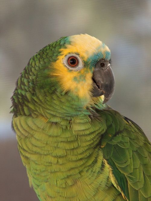 amazon blue front parrot,portrait,bird,tropical,colorful,perching,exotic,domestic,green,yellow,blue