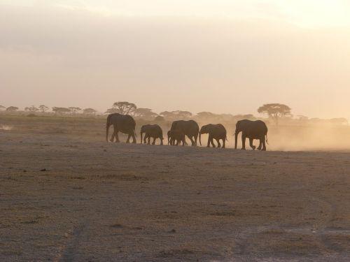 amboseli elephant dust