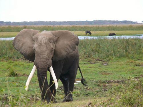 amboseli national park kenya elephant