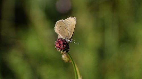 ameisenbläuling,drugelis,paprasta mėlyna,lycaenidae,gamta,drugeliai,gyvūnas,vabzdys,vasara,smailus mygtukas,gėlė,drugeliai vasarą