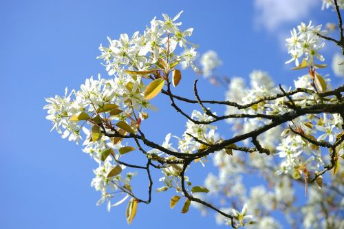 amelanchier flowers white