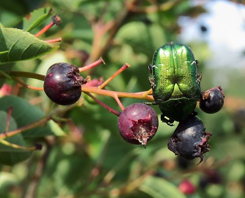 amelanchier ovalis rose chafer snowy mespilus
