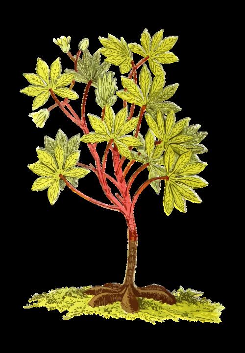 america cassava edible