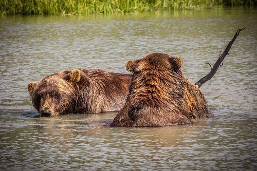america  alaska  bear