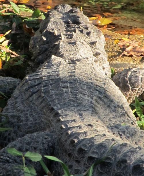 american alligator rear view alligator mississippiensis