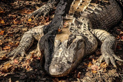 american alligator alligator crocodilian