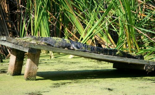 american alligator reptile crocodilian