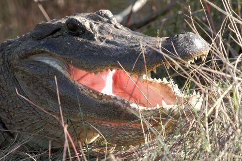 american alligator head wildlife