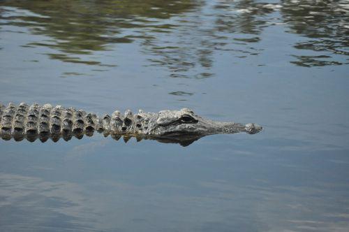 American Alligator In Swamp
