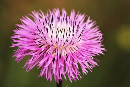 American Basket Wildflower Close-up