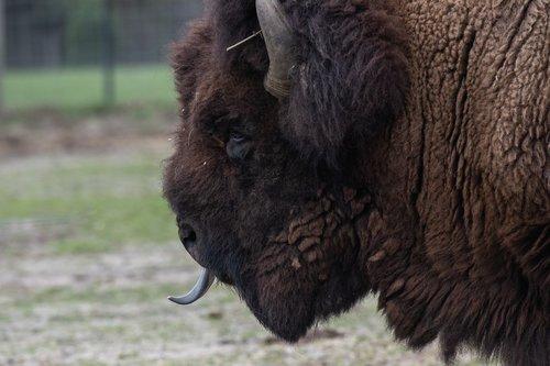 american bison  bison  animal