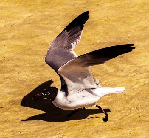 american black-headed gull water bird nature