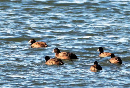 American Coot Swimming In Lake