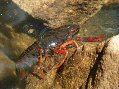american crab crayfish rocks