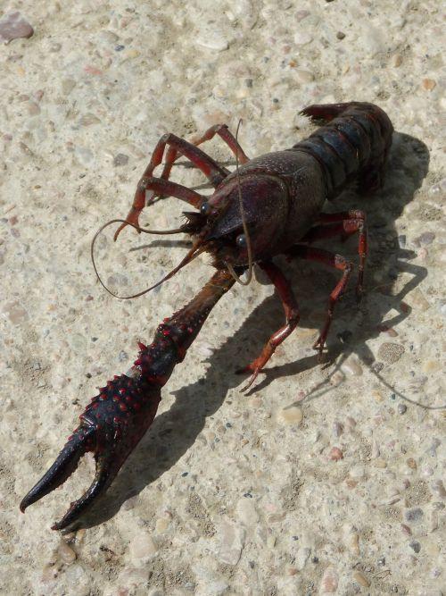 american crab crayfish clip