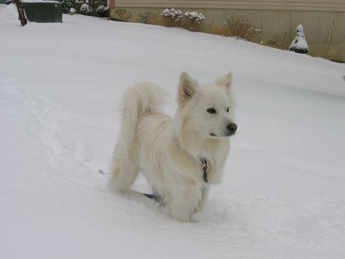 american eskimo dog snow canine