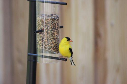 american goldfinch spinus tristis eastern goldfinch