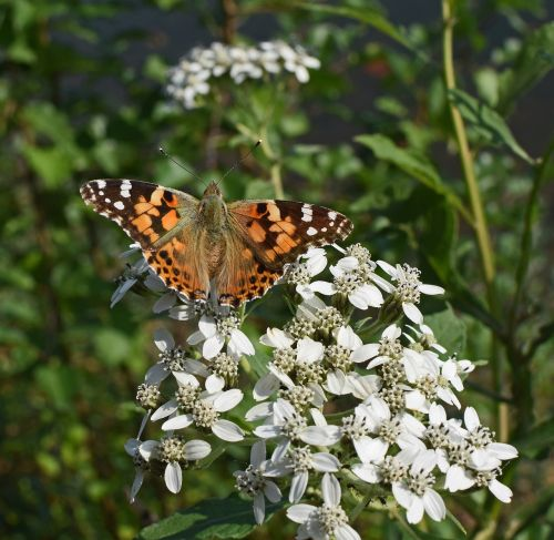 american lady butterfly insect pollinator