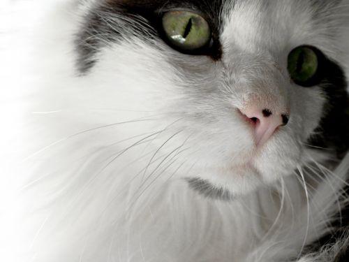 American Longhair Green Eyes