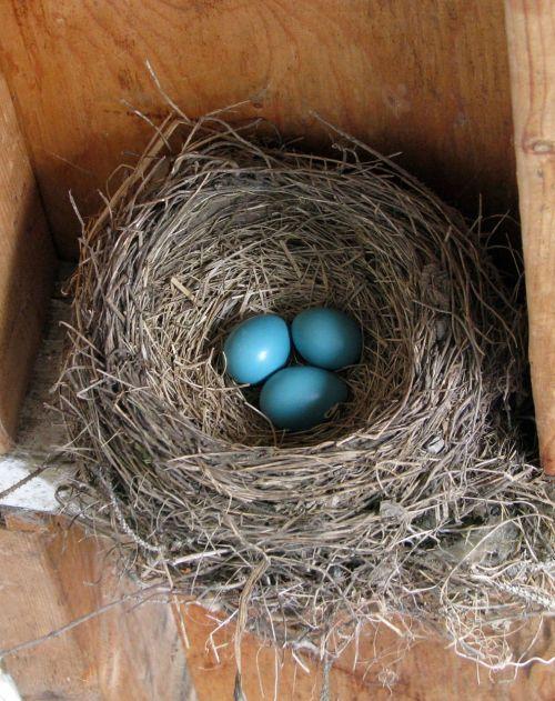 american robin turdus migratorius nest
