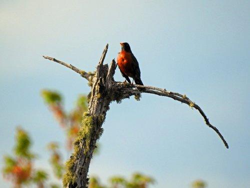 american robin  bird  orange