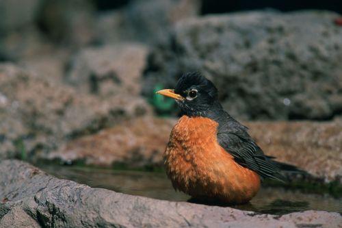 american robin bird red breast