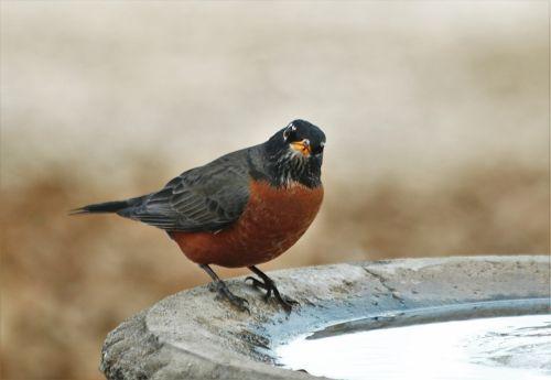 American Robin At Bird Bath