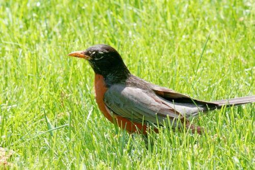 American Robin In Grass
