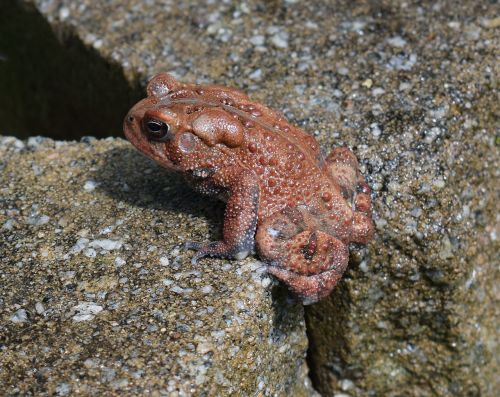 american toad toad red phase