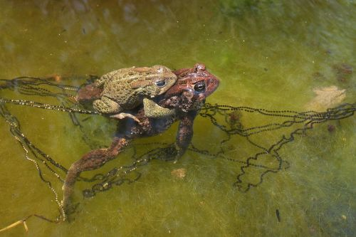 american toad copulation mating