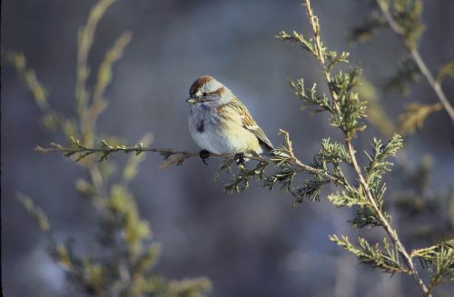 american tree sparrow,bird,wildlife,nature,perched,outdoors,branch,small,portrait