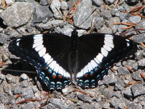 american white admiral limenitis arthemis butterfly