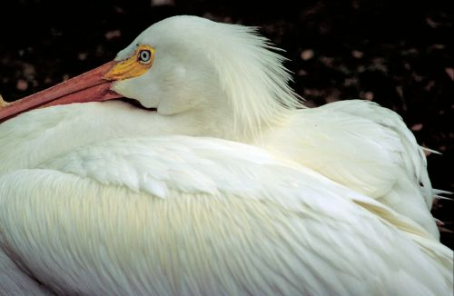 american white pelican,bird,close up,waterfowl,wildlife,nature,seabird,bill,resting