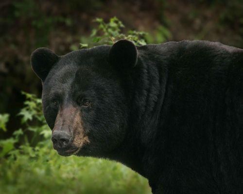 americanus ursus bear