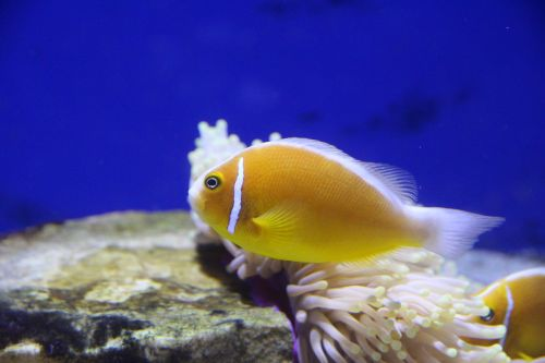 amfiprion clown fish pink clown