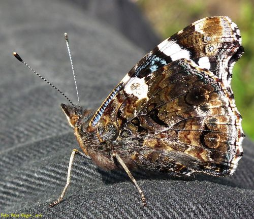 Amiral Butterfly From Side
