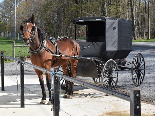 amish  buggy  horse