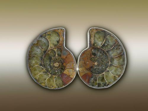 ammonit ammonoidea extinct