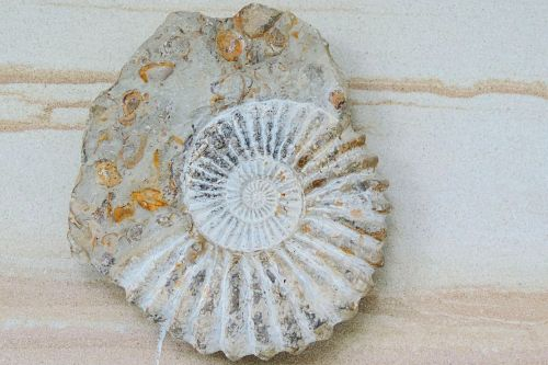 ammonit petrification prehistoric times
