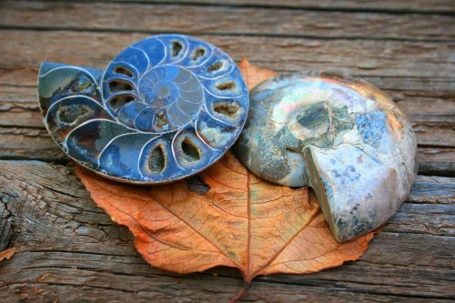 Ammonite Fossil Halves