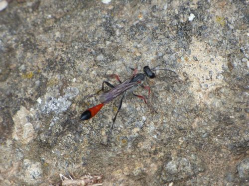 ammophila sabulosa wasp strange insect
