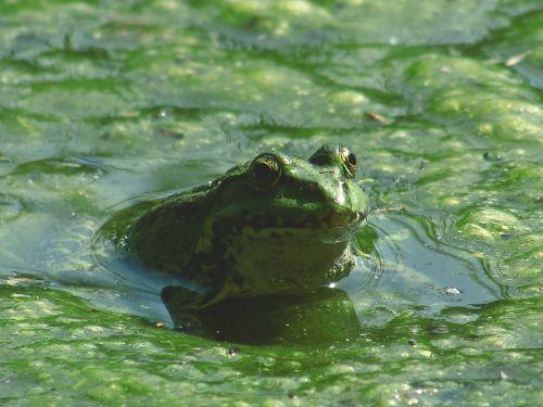 amphibian animal frog