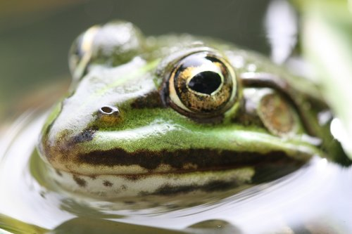 amphibian  nature  frog