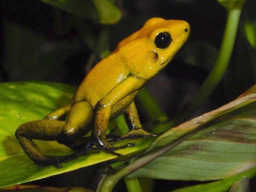 amphibians  poison frog  frog