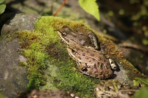 amphibians  frogs  green