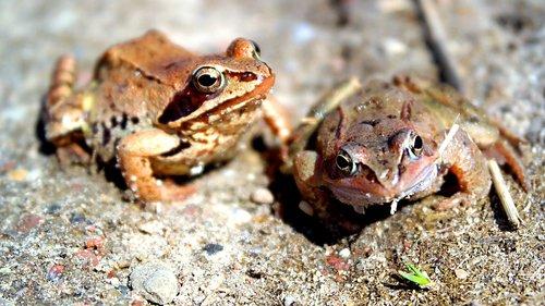 amphibians bezogonowe  nature  animals
