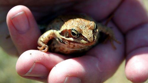 amphibians bezogonowe  nature  amphibian