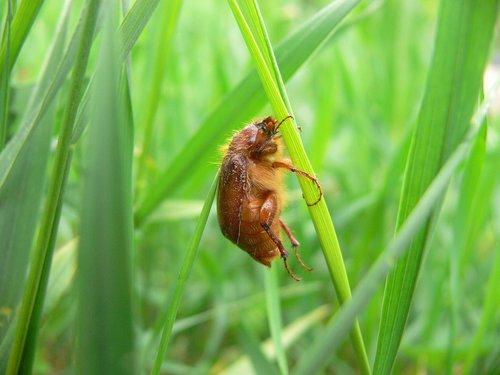 amphimallon assimile  amphimallon  beetle