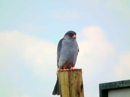 amur falcon hawk
