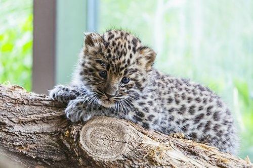 amur  amur leopard  amur leopard baby